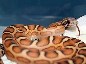 Image Gallery Scaleless Snake