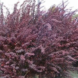 Arbuste Feuillage Persistant Croissance Rapide : berberis thunbergii 39 atropurpurea 39 vente epine vinette ~ Premium-room.com Idées de Décoration