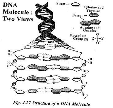 dna molecule two views pictures to pin on