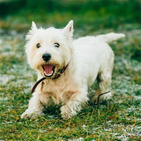 west highland white terrier breeds dogzonecom