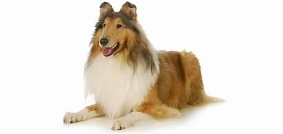 Collie Breed Dog Breeds Rescue Purebred Spdr