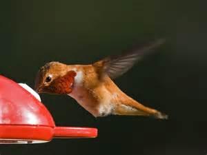 in the backyard rufous hummingbird pacific nw birder