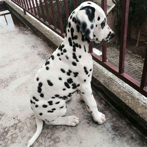 dalmatian dog pictures   images  facebook
