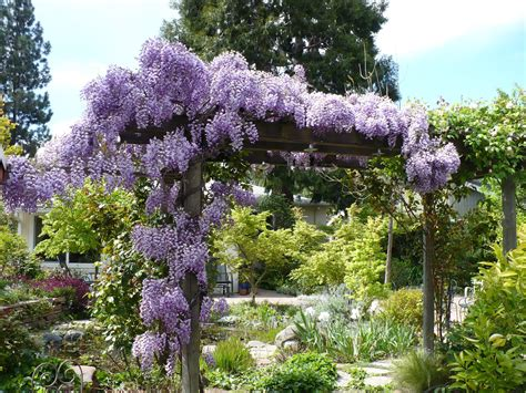 growing wisteria lois miller s greenspeak the care and feeding of wisteria