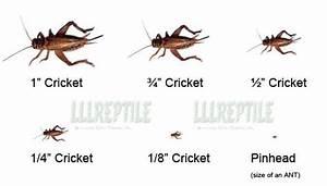 Animal Husbandry Chart 2000 Crickets For Sale