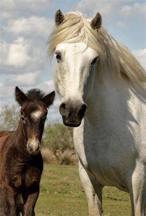 horses camargue france horse brown cute foals born star foal mare flickr wild hair pretty dicarlo debbie baby light animals