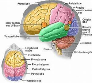 Cerebral Cortex And Its Four Lobes