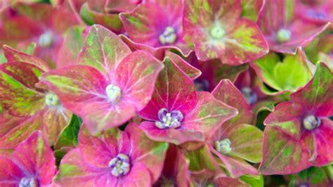 Garten Pflanzen Jahreszeit by Hortensien Pflanzen Alles Was Sie Zur Jahreszeit