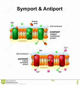 Symport And Antiport  Cell Membrane Transport Systems