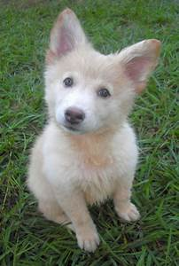 German Shepherd Husky Mix Puppies White | ~Animals, Big ...