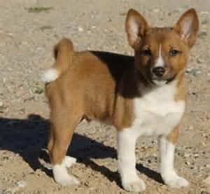 puppy basenji pinterest