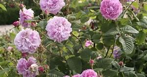 Rose Mein Schöner Garten : die geschichte der rose mein sch ner garten ~ Lizthompson.info Haus und Dekorationen