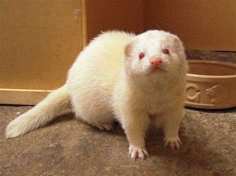 ferret photo gallery montys ferrets photo gallery