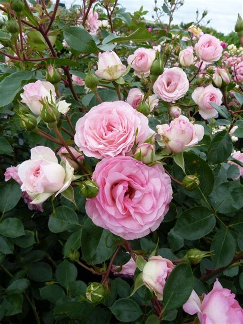 Rosa Mini Eden Rose R Kl Vi Kletterrose Häußermann