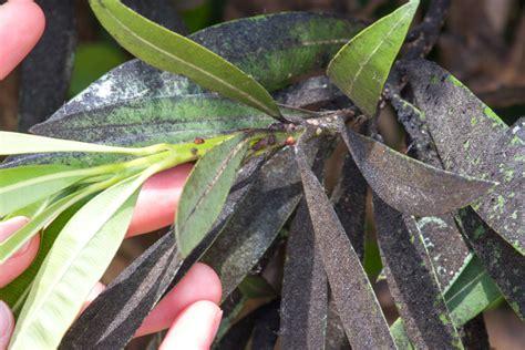 oleander blattlaeuse erkennen und bekaempfen