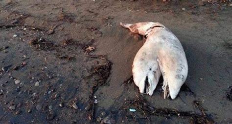 ซากโลกมาสองหัวเกยตื้นบนชายหาดตุรกี