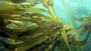 Baby Bull Kelp 2012 And 2013