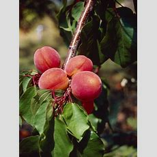 The Best Fruit Trees For Tennessee Hunker