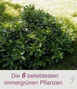 Immergrüne Pflanzen Für Kiesbeet : 6 beliebte immergr ne pflanzen f r den garten immergr ner garten garten pflanzen und ~ A.2002-acura-tl-radio.info Haus und Dekorationen