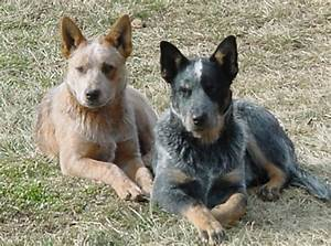 Country Life: Blue Heeler e Red Heeler