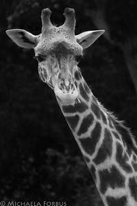 Giraffe - Black and white by michaelaforbus on DeviantArt