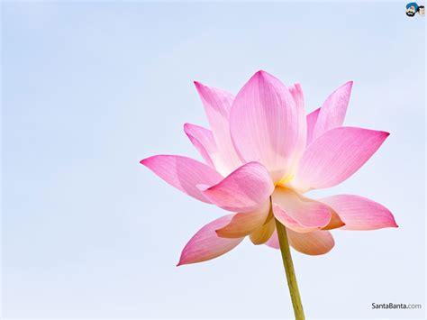 Lotus Wallpaper #2