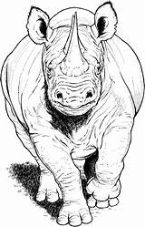 Coloring Rhino Pages Animals Running Rhinos Rhinoceros Printable Animal Drawings Sketches Wildlife Supercoloring Category Colouring Drawing Sheets Select Nature Bible sketch template