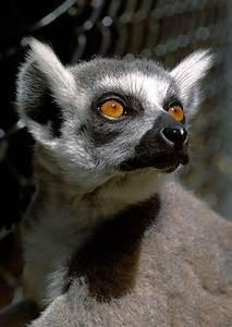 Lemur Eyes Photograph by BuffaloWorks Photography