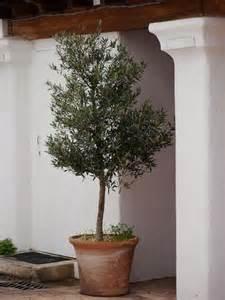 olivenbaum balkon olivenbaum schneiden hinweise zum schnitt der oliven