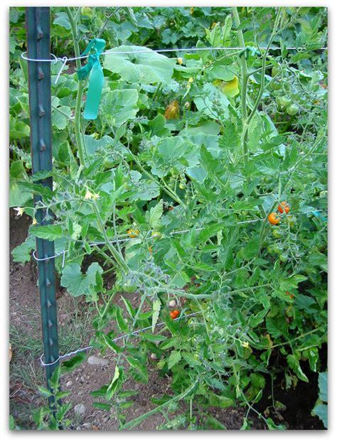 tomato trellis  cagey alternative tall