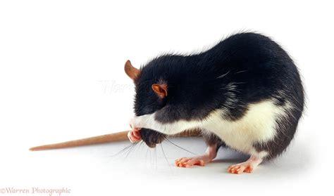 Black-and-white rat photo WP23947