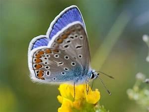 Bedeutung Schmetterling In Der Wohnung : schmetterlinge beobachten natur entdecken bund e v ~ Watch28wear.com Haus und Dekorationen