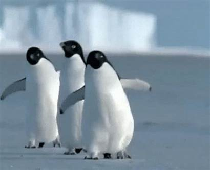 Penguin Waddling Penguins Knees Walking Gifs Fullscreen