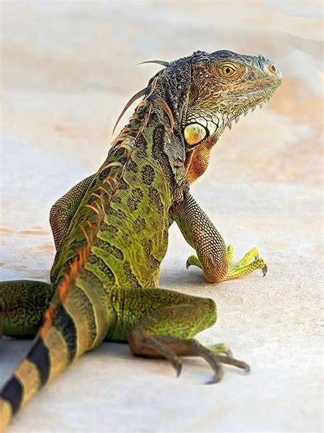 iguana pet green iguana pet www imgkid com the image kid has it