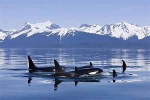 Orca Surface In Lynn Canal Near Juneau Photograph by John Hyde