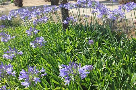 how to divide agapanthus plants agapanthus a stunning architectural plant