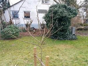 Mein Apfelbaum Anleitung : hilfe f r schnitt junger apfelbaum gesucht seite 1 ~ Lizthompson.info Haus und Dekorationen