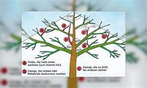 Apfelbaum Schneiden Sommer : einen apfelbaum richtig schneiden die krone j hrlich ~ Lizthompson.info Haus und Dekorationen
