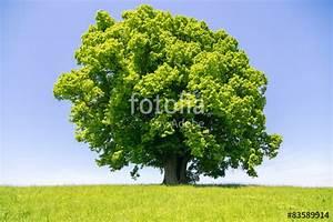 Linde Baum Steckbrief : linde baum imagens e fotos de stock royalty free no imagem 83589914 ~ Orissabook.com Haus und Dekorationen