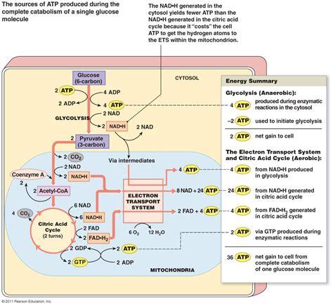 krebs cycle diagram quiz  keto island