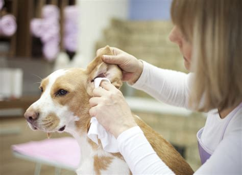tips  preventing ear infections  dogs