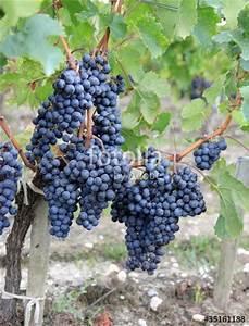 Achat Pied De Vigne Raisin De Table : grappes de raisin sur un pied de vigne photo libre de droits sur la banque d 39 images fotolia ~ Nature-et-papiers.com Idées de Décoration