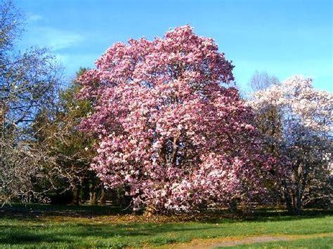 pics of magnolia trees magnolia tree statue tree