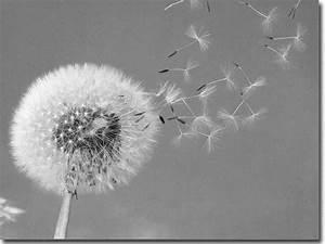 Pusteblume Schwarz Weiß Vögel : glasbild pusteblume ~ Orissabook.com Haus und Dekorationen