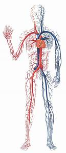 Digestive System Of Human Body  Human Circulatory System