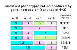 Gene Interaction Phenotypic Ratios