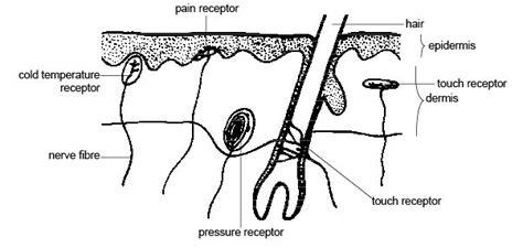 anatomy  physiology  animalsthe senses wikibooks