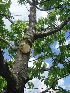 Schädlinge Am Kirschbaum : kirschbaum schrotschusskrankheit pflanzenkrankheiten ~ Lizthompson.info Haus und Dekorationen