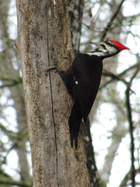 interesting facts about woodpeckers just fun facts