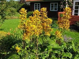 Gelbe Winterharte Pflanzen : stauden richtig pflanzen winterharte stauden f r lebendige g rten ~ Markanthonyermac.com Haus und Dekorationen